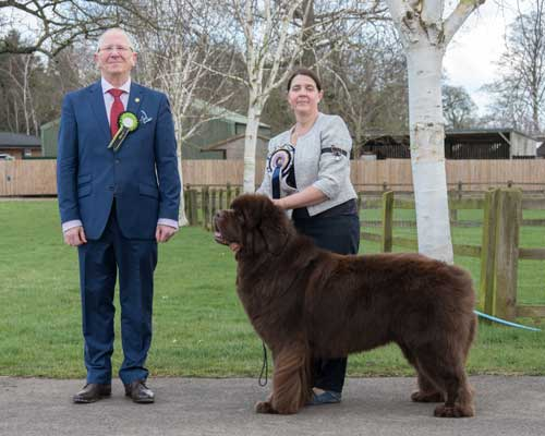 Best Brown In Show at the 29 February 2020 Newfoundland Club Open Show