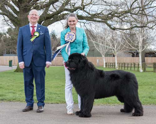 Reserve Best In Show at the 29 February 2020 Newfoundland Club Open Show
