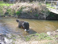 Photograph of a Black Newfoundland dog playing in a stream