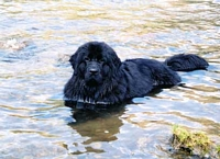 Photograph of a Black Newfoundland dog enjoying the water