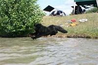 Photograph of a Black Newfoundland taking a flying leap into the water