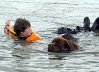 Photograph of a Brown Newfoundland pulling a person back to shore in a simulated water rescue