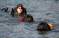 Photograph of a pair of black Newfoundlands swimming with their handler