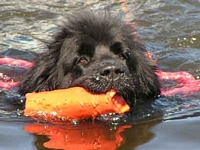 Photograph of a Black Newfoundland retrieving an object in the water