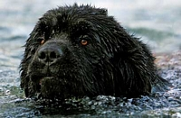 Photograph of a Black Newfoundland swimming