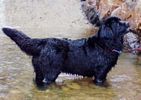 Photograph of a Black Newfoundland in the water