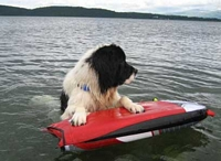 Photograph of Koisty, a White & Black Newfoundland with paws on a body board