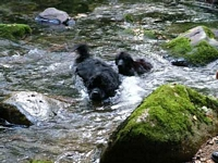 Photograph of a pair of Black Newfoundlands enjoying themselves in a river