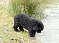 Photograph of Norman, a Black Newfoundland puppy checking out the water