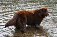 Photograph of a Brown Newfoundland standing in the water