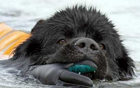 Photograph of Sam, a Black Newfoundland performing a hand-tow simulated rescue